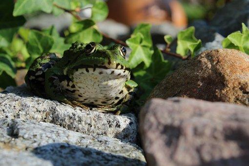 Frog, Animal, Amphibian, Green, Nature, Water