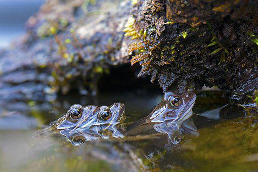 Grass Frogs, Frogs, Animals, Water, Pairing, Amphibians