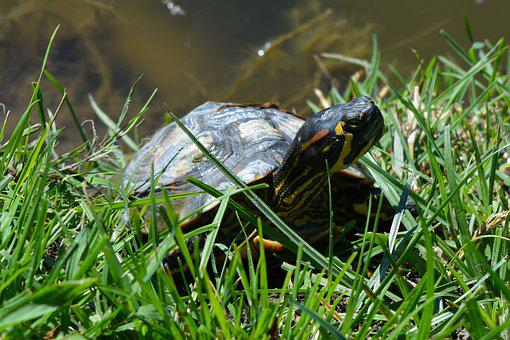 Frog, Turtle, Water, Green, Pet, Grass
