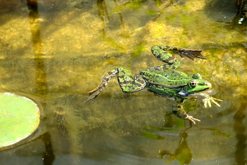 Frog, Water, Pond, Frogs, Summer, Green Frog