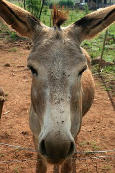 Donkey, Grey, Long Ears, Soft Muzzle, Soil, Green