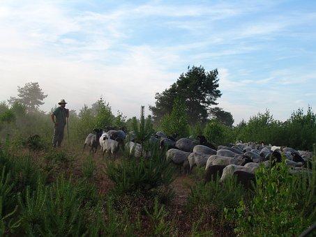 Schäfer, Sheep, Flock, Nature, Lüneburg Heath
