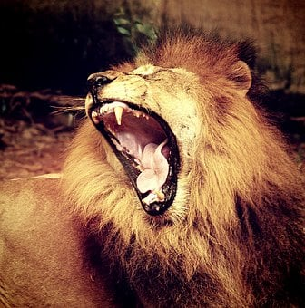 Lion, Pride, Male, Mammal, Power, Fur, Majestic