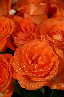Roses, Flowers, Orange, Dew