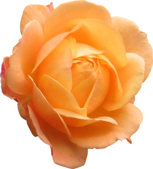 Rose, Orange, Flower, Orange Flower, Flowers Isolated