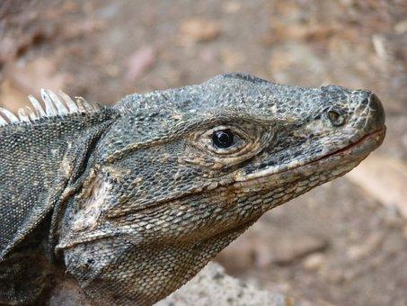 Reptile, Animal, Costa Rica, Manuel Antonio
