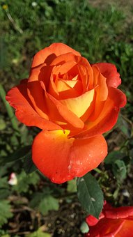 Rose, Orange, Flower, Color