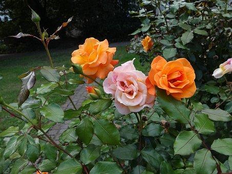 Rose, Orange, Later Becoming Pink, Park Landau