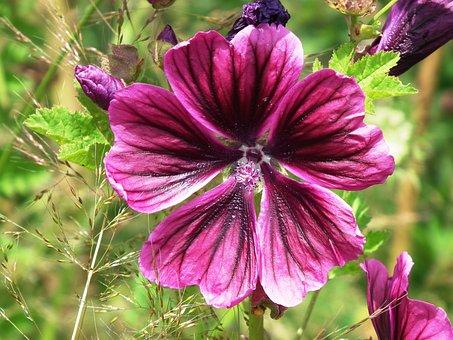 Stock Rose, Violet, Purple, Wine Red, Blossom, Bloom