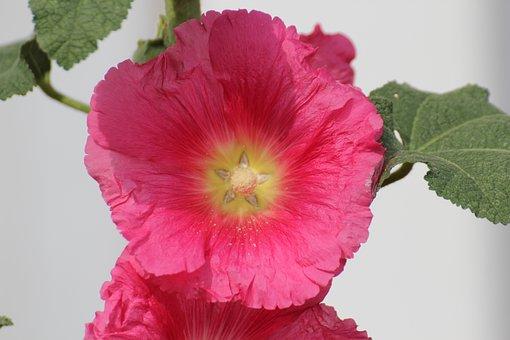 Stock Rose, Common Peony, Alcea Rosea, Althaea Rosea