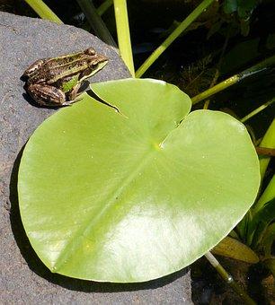 Frog, Letter, Stone, Water, Slovakia, Latorica