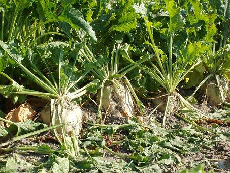 Sugar Beet, Harvest, Agriculture, Crop, Field, Nature