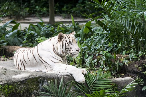 White Tiger, Tiger, Cat, Feline, Animal, Tigers