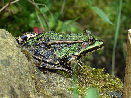 Frog, Water Frog, Animal, Frog Pond, Amphibian, Nature