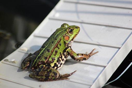 Frog Pond, Frog, Water Frog, Amphibian, Animal, Pond