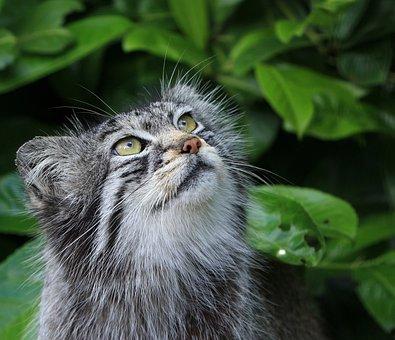 Pallas Cat, Cat, Manul, Wild, Wild Cat, Cute, Wildlife
