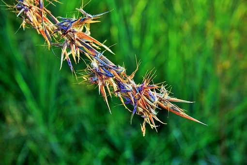 Red Grass, Grass, Red, African, Wild, Indigenous, Veld