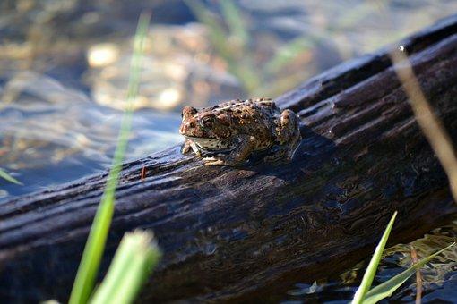 Frog, Log, Water, Wild, Reptile, Weeds, Grass, Rocks