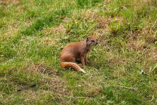 Red Meerkat, Meerkat, Animal, Mammal, Grass