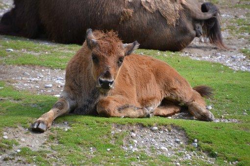Bison, Buffalo, Animal, Beef, Wild, Bison-buffalo