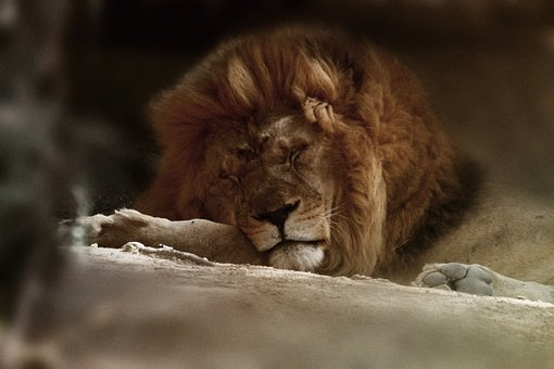 Leon, Wild, Sigean, France, Animals, Nature