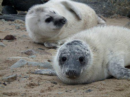 Seals, Seal, Sea, Mammal, Nature, Cute, Animals, Beach