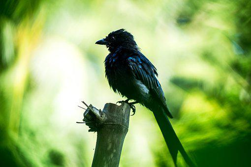 Blackbird, Birds Of Bangladesh, Bangladesh, Nature
