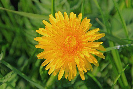Dandelion, Blossom, Bloom, Yellow, Green, Meadow