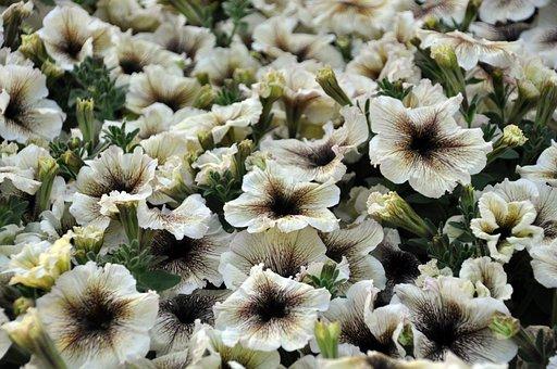 Surfinia, Petunia, Summer, Garden, Blossom, Bloom