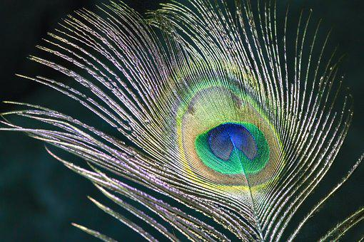 Peacock, Feather, Bird, Colorful, Nature, Plumage
