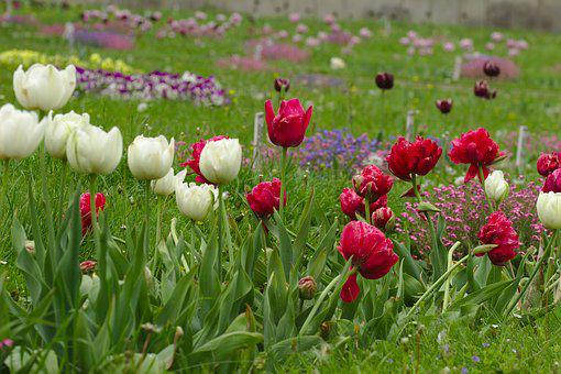 Tulips, Red, White, Spring, Nature, Coloring, Blooming