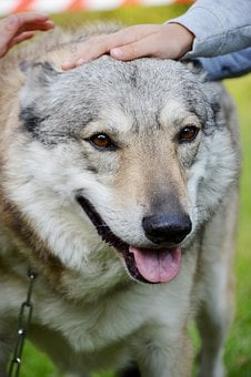 Animal, Wolf-dog, Dressage, Czechoslovakian Wolfdog