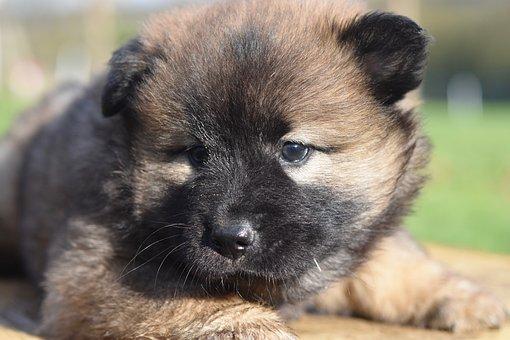 Dog, Bitch, Puppy, Eurasier Puppy, Eurasier Female