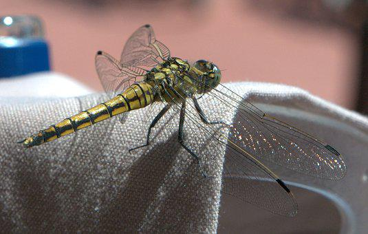 Dragonfly, Insect, Wing, Animals, Summer, Close Up