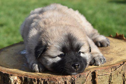 Dog, Puppy, Eurasier Puppy, Puppy Lie Down