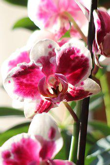 Flower, Orchids, Blossom, Bloom
