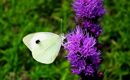 Butterfly, Insect, Flower, Latria Kłosowa, Flowers