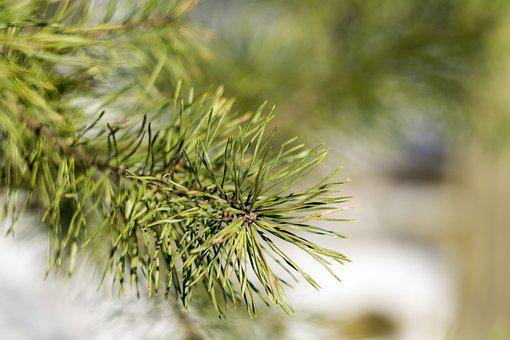 Pine, Winter, Nature, Snow, Tree, Cold, Forest, Macro