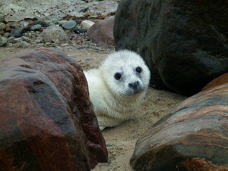 Seal, Seal Puppy, Puppy, Animal, Wildlife, Mammal