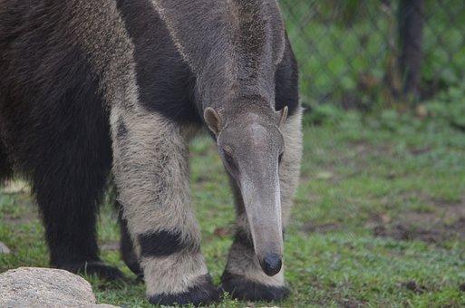 Anteater, Mammal, Vermilingua, Foraging, Animal, Nature