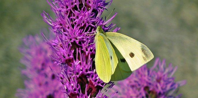 Butterfly, Insect, Flowers, Latria Kłosowa, Nature