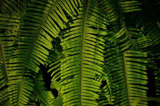 Leaf, Plant, Green, Nature, Fern, Natural, Flora