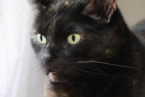 Cat, Tortoise Shell, Cat's Eyes, Pet, Cat Face
