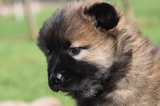Dog, Bitch, Pup, Puppy, Eurasier Puppy, Puppy Female