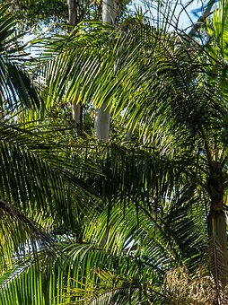 Palms, Bangalow Palms, Fronds, Rain Forest, Forest