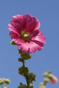 Stock Rose, Mallow, Sky, Flower, Garden