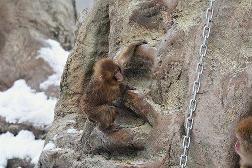 Animal, Saruyama, Monkey, Snow Monkey