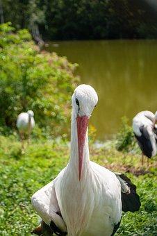 Stork, Bird, Pen, Plumage, Animals, Flying, Storks