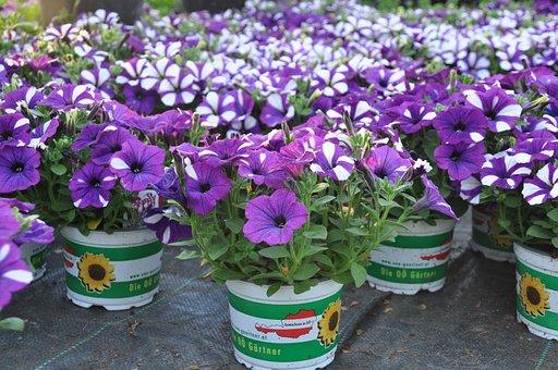 Surfinia, Summer, Violet, Balcony, Petunia, Purple