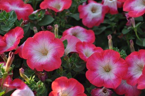 Surfinie, Petunia, Flowers, Summer, Balcony, Garden